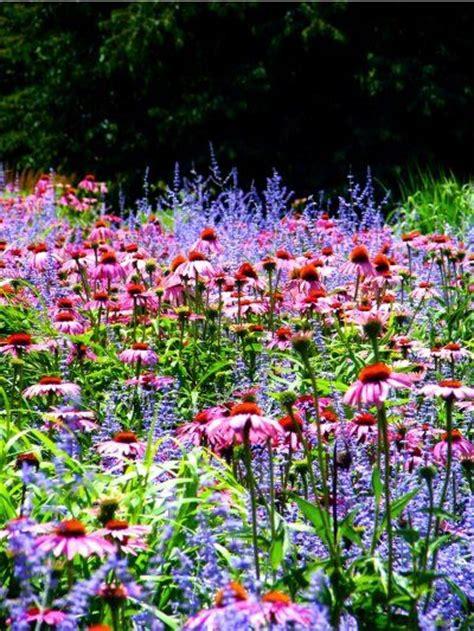 coneflower russian sage garden plants pinterest