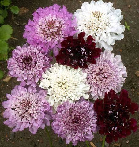 Bibit Benih Seeds Pinchushion Flower Mix Scabiosa Atropurpurea pincushion flower imperial mix lifeseedcompany