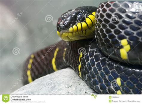 imágenes de serpientes negras serpiente negra y amarilla colorida im 225 genes de archivo