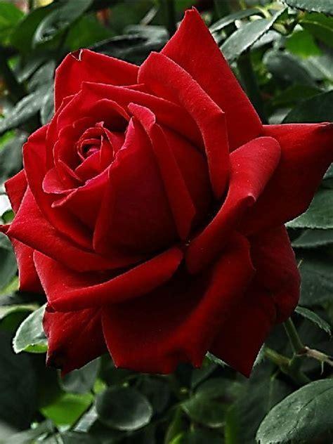 Die Schönsten Blumen 4899 by 36 Besten Rot Im Garten Die Sch 246 Nsten Roten Blumenbeete