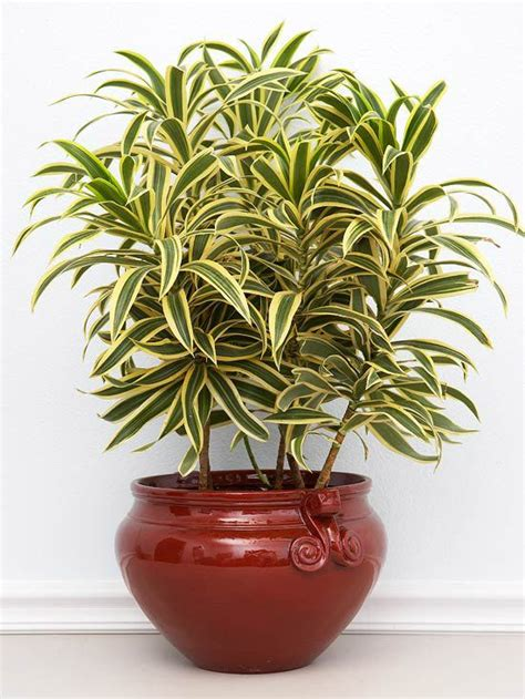 foliage plants in india 17 best ideas about dracaena plant on plants