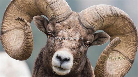 big rams rocky mountain bighorn sheep best photographs tony bynum