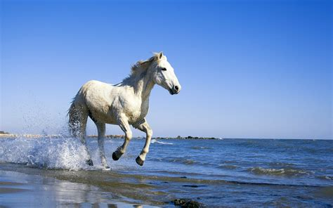 camargue white horse wallpapers hd wallpapers id