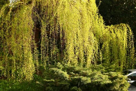 of willow file willow tree in jpg