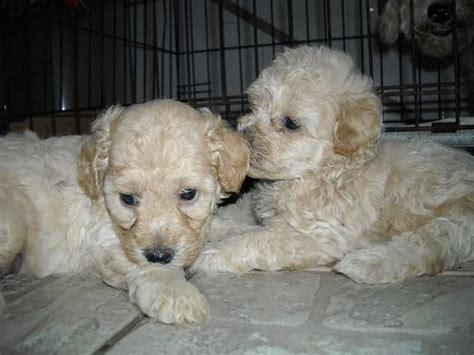 poodle puppies for adoption tiny poodles for adoption breeds picture