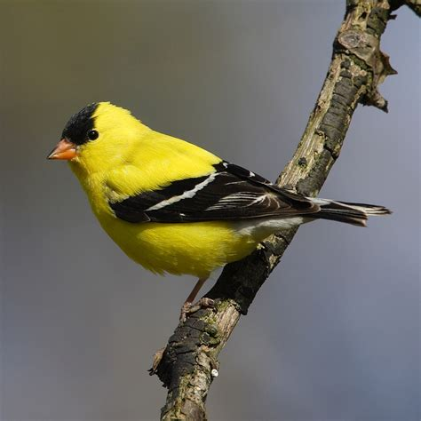 gc3cdz4 american goldfinch unknown cache in new jersey