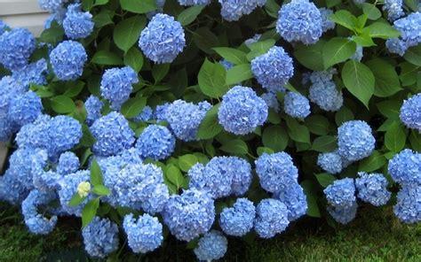 Hydrangea Macrophylla Endless Summer 4457 by Hydrangea Gammon S Garden Center Landscape Nursery