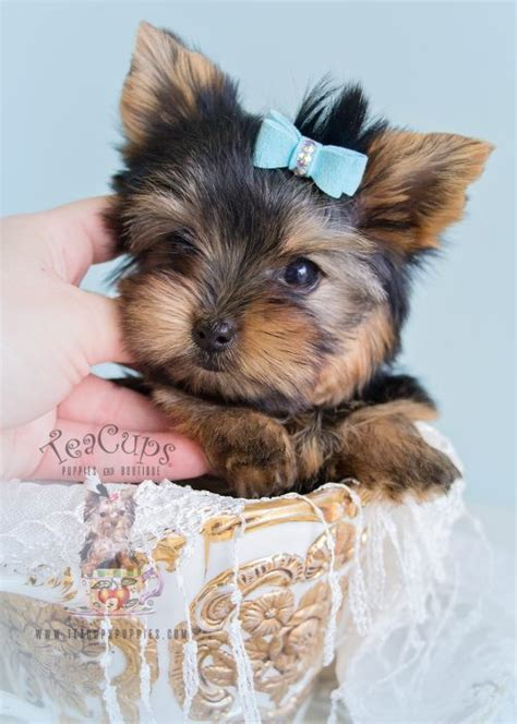 about teacup yorkies teacup yorkies for sale by teacups puppy boutique