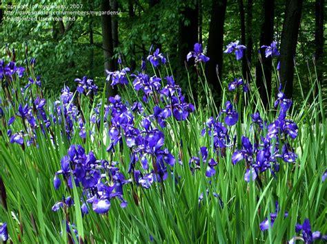 plantfiles pictures siberian iris iris sibirica by