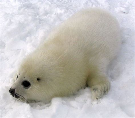 where can i buy a l harp 1000 images about harp seals sooooo cute on pinterest