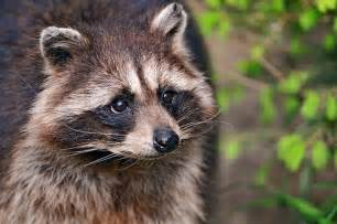 Swinespi funny pictures cute raccoons raccoon pictures pictures of