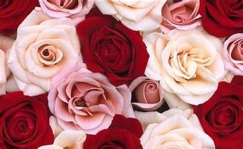 wallpaper rangkaian bunga mawar galeri wallpaper bunga mawar yang menakjubkan pesona dunia