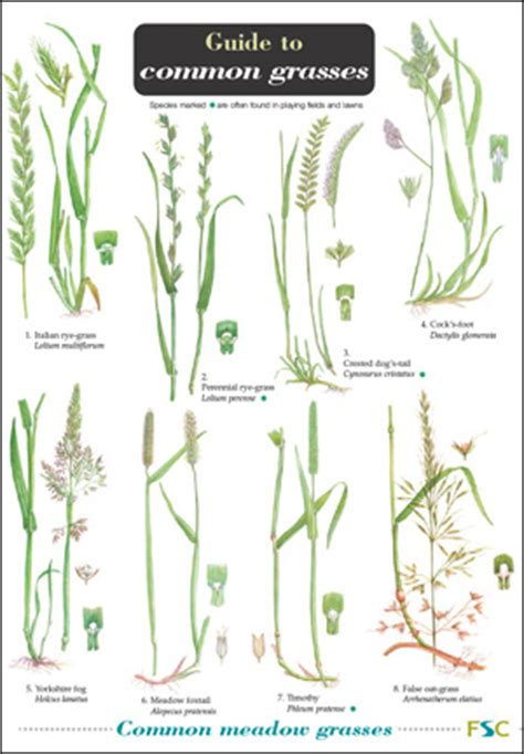 grass identification key pictures to pin on pinterest