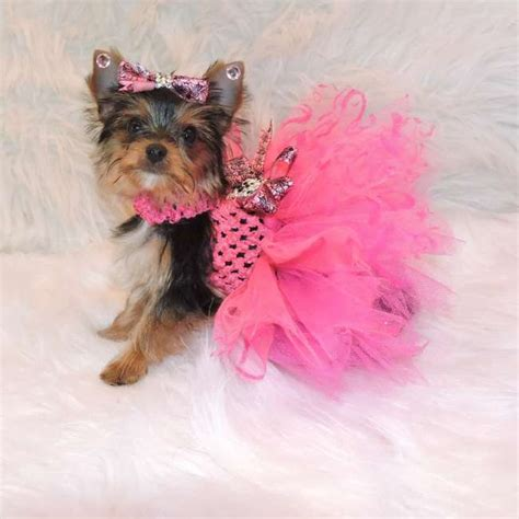 teacup yorkie puppies for sale in illinois terrier puppies for sale tiny teacup and design bild