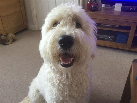 your doodle puppy year 1 year goldendoodle witham essex pets4homes