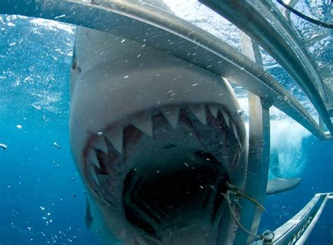 great white shark attacks cage cage dive with great white sharks lifetime pinterest