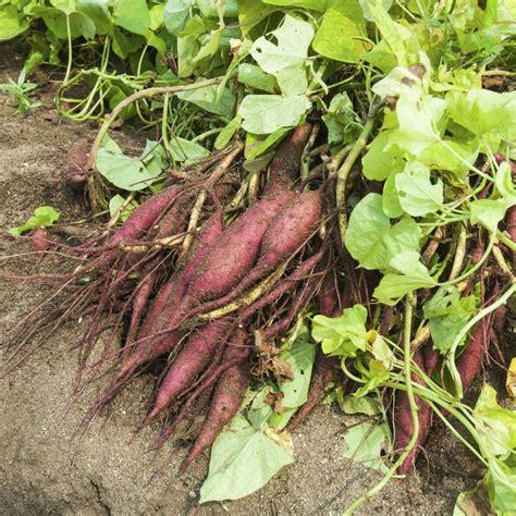 Quand Planter Les Patates Douces patate douce planter et cultiver ooreka