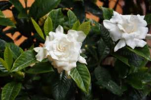 Gardenia Upkeep Gardenia Not Blooming Getting A Garden To Bloom