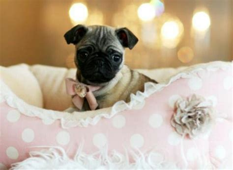 pugs for sale in orlando best 25 teacup pugs for sale ideas on