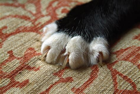 Cat Nails Shedding by How To Stop Your Cat From Scratching Furniture Petcha