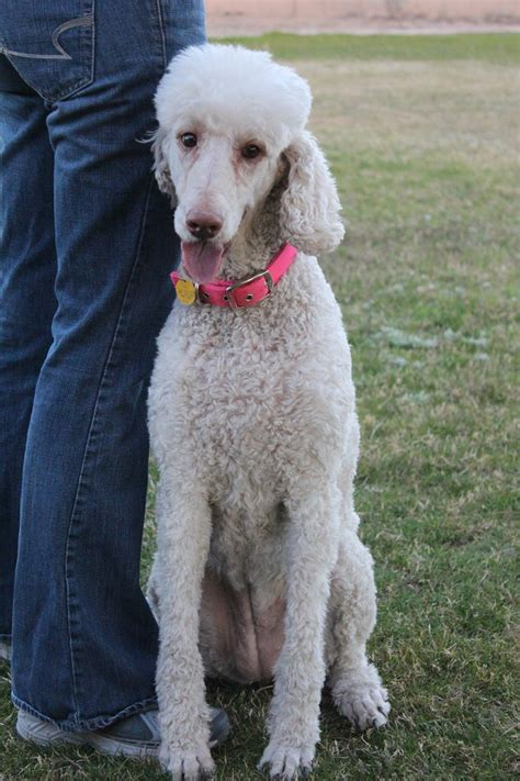 rescue san jose standard poodle rescue san jose ca dogs our friends photo