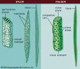 Xylem andphloem xylem and phloem are never separate itself but