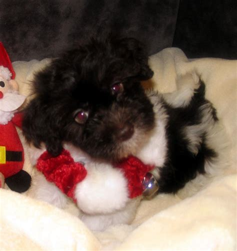 havanese colors mahogany silk dogs havanese rarest of the chocolatemany chocolate