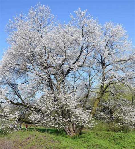 ciliegio fiorito il gruppo di cammino visita il ciliegio fiorito di vergo