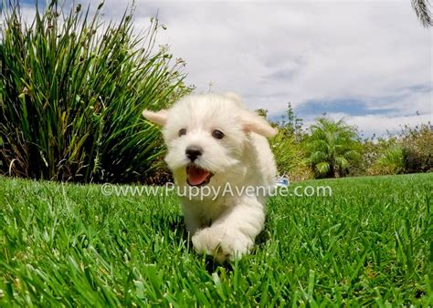 maltipoo puppies for adoption beagle puppies for adoption puppies puppy
