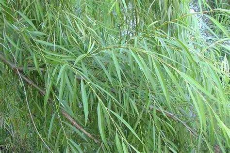 salice piangente in vaso salice piangente alberi variet 224 salici