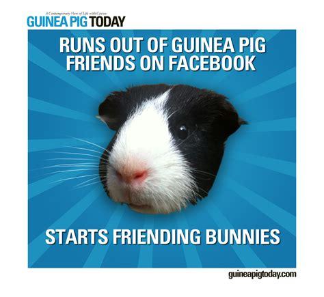 Guinea Pig Meme - life as a guinea pig meme guinea pig today