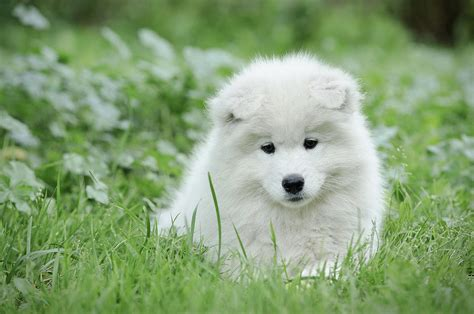 samoyed puppies for sale in michigan adopt a siberian husky breeds petfinder the siberian husky breeds picture