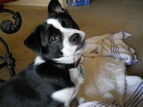 terrier x pomeranian pomston boston terrier x pomeranian beautiful hybrid dogs