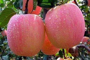 Apel Fuji 5 manfaat apel fuji untuk diet yang perlu anda tahu