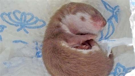 am schlafen tiere kleines babywiesel am schlafen bilderwelt bei