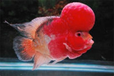 Scarlets Rise By Aurel Louhan flowerhorn for sale hundreds of beautiful