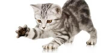 faut il couper les griffes de chat infoveto