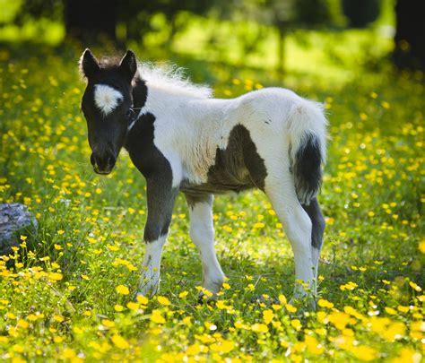 mini pony miniature caballos horses