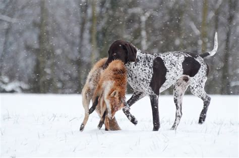 golden retriever kurzhaar german shorthaired pointer kurzhaar brings in a fox history