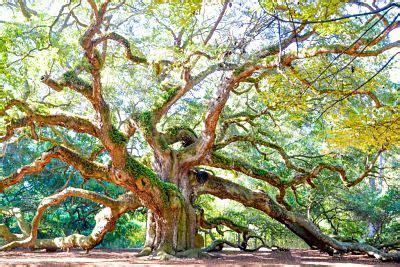 What Does 500 Square Feet Look Like Angel Oak Tree Free Must See Park Near Charleston