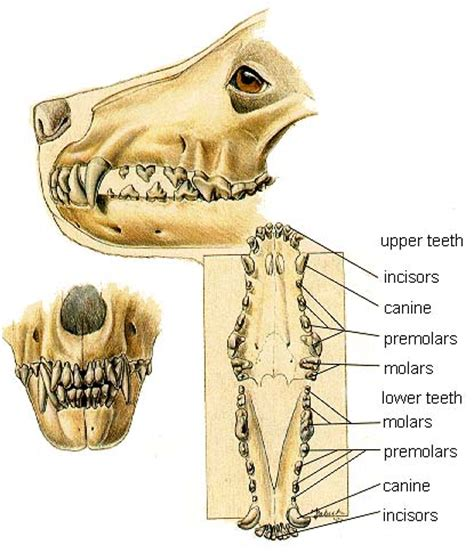 puppy teeth facts about canine anatomy chews guide and tips