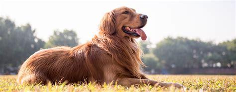 golden retriever ta m 229 nedens hunderase golden retriever velkommen til flinkbisk bloggen