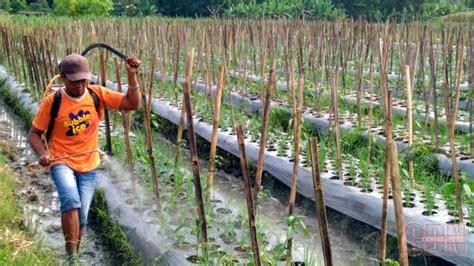 Jual Bibit Bawang Merah Di Aceh petani keluhkan perbedaan besar harga jual dan beli bawang