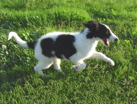 borzoi puppies for sale russian wolfhound puppies for sale breeds picture