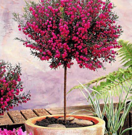 Arbuste En Pot Pour Terrasse 7984 by Petit Arbre Et Arbuste S Installent Aussi En Terrasse