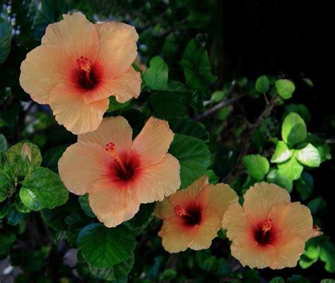 fiore ibiscus significato ibisco significato dei fiori ibisco