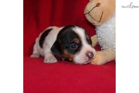 miniature beagle puppies for sale mini pocket beagle puppies for sale south florida davie breeds picture
