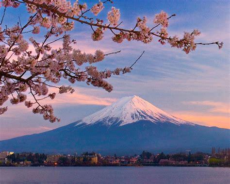 keunikkan fakta tentang bunga sakura jepang akiba nation
