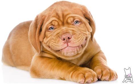 dogue de bordeaux puppy gentle touch dogue de bordeaux puppy soap all handcrafted