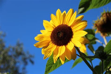 wallpaper hd bunga matahari foto gratis bunga matahari mekar bunga gambar gratis